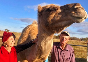 Camels thrive in Oklahoma farms