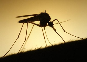 Scientists Genetically Modify Fungus To Kill Mosquitoes That Spread Malaria