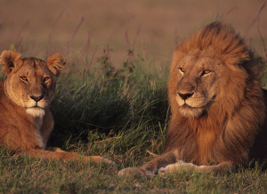African Lions Face Looming Extinction