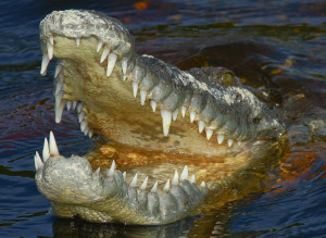 First-Ever Crocodile Attack On Humans In The U.S.
