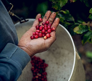 California-Grown Coffee Is Becoming The State's Next Gold Mine