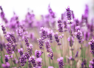 3 Surprising Uses For Lavender