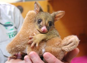 Orphaned Baby Possum Has A Cuddly New Best Friend