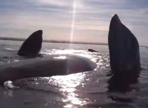 Gigantic Whale Gently Lifts A Kayak Out Of The Water With Its Head
